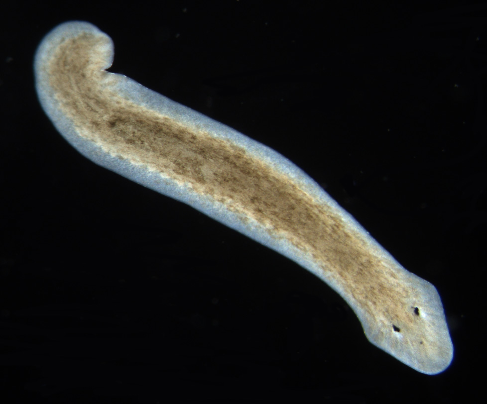 platyhelminthes non planar
