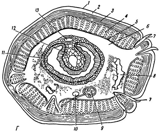 sistemul nervos al viermei