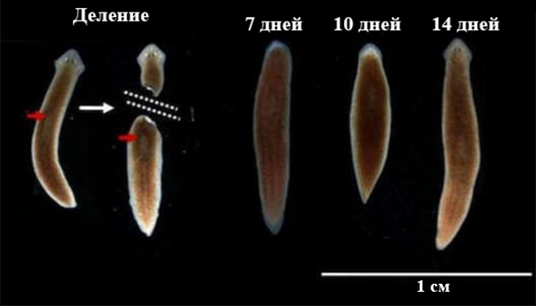 specii de vierme plate