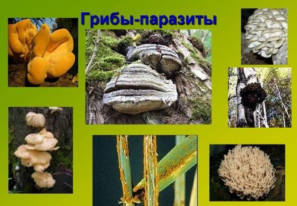 ciupercile sunt saprofite sau paraziți