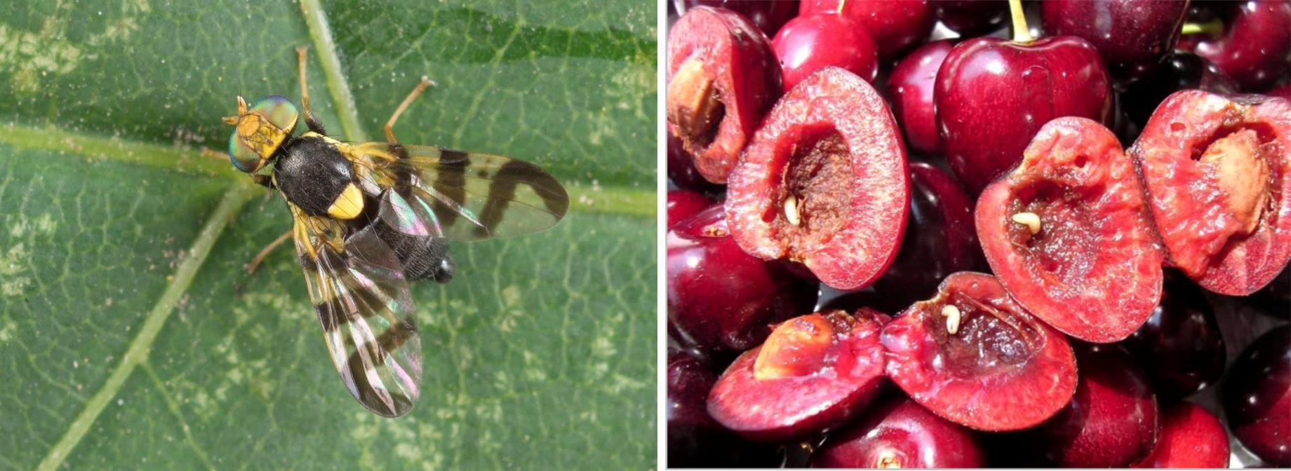 Musca - Viermele cireselor (Rhagoletis cerasi): combatere, tratamente | transroute.ro