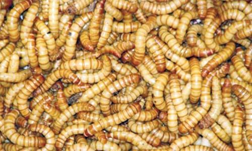 Vierme rosu in peste - Re: Viermele sarma