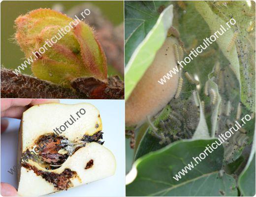 viermele gutuiului