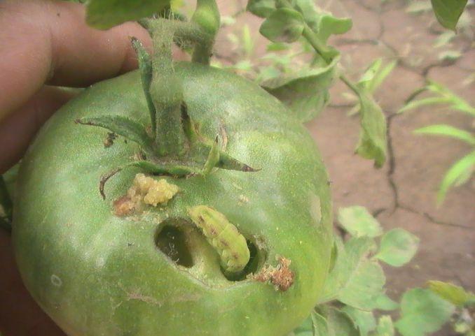 Cum recunosti si cum scapi de omida fructelor de tomate in solar