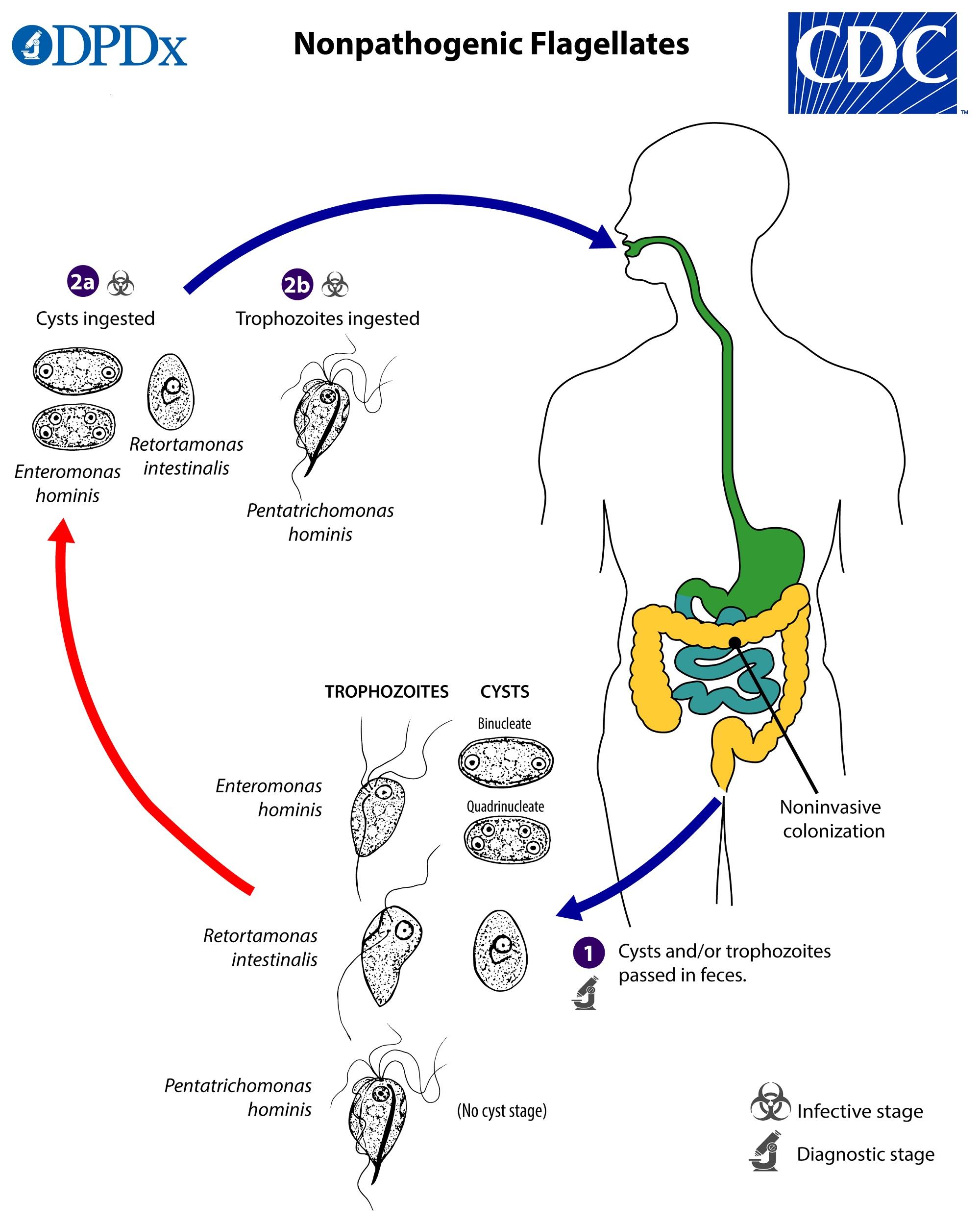 Ciclul de dezvoltare a lamblia ,medicul tratează viermii