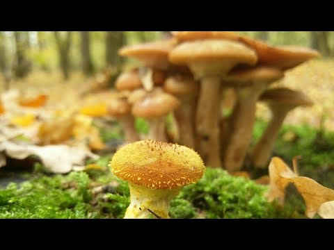 ciuperci ghebe