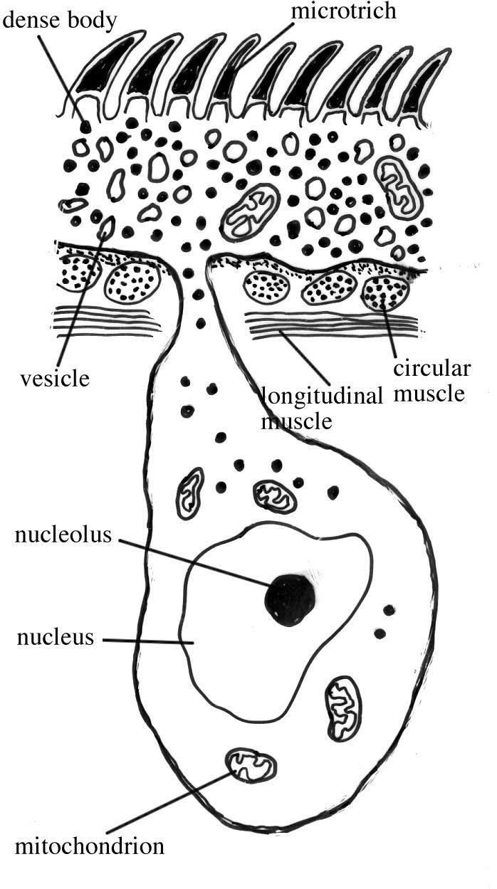 Platelminți - Wikipedia