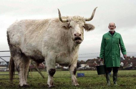 Cel mai mare taur. Cele mai mari vaci din lume: rase, descriere, fotografie