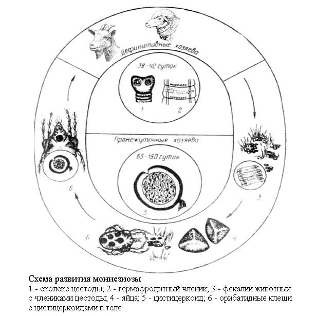 simptomele și tratamentul fascioliazei la om