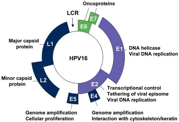 Human papillomavirus causes cervical cancer - Squamous papilloma about