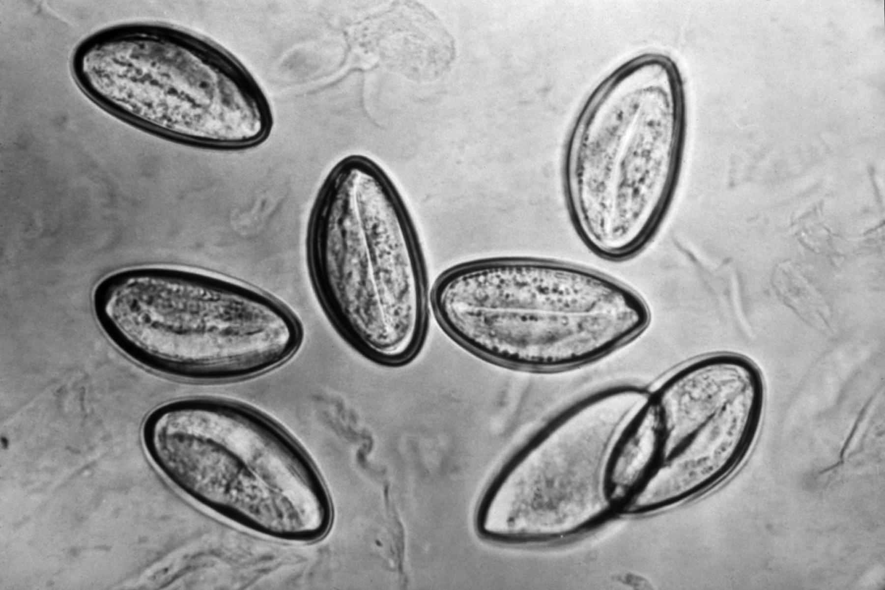 paraziti a jejich biologie numit stadiul matur sexual al helminților