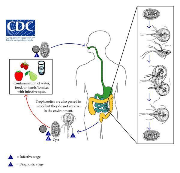 jardia duodenalis ciclul de viață cdc