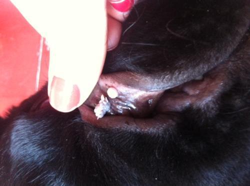 papilloma labiale cane