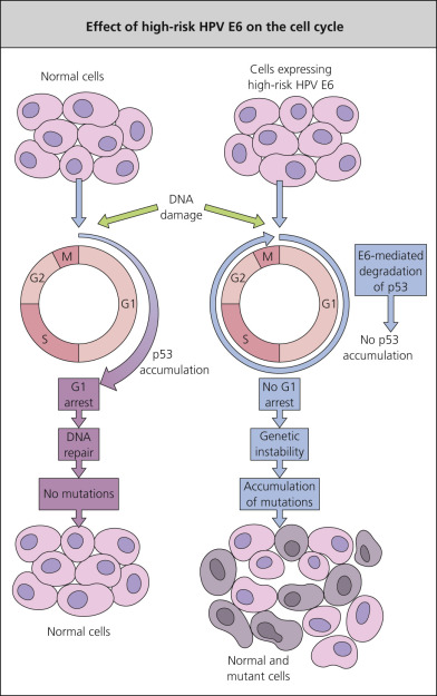 Papilloma virus dna or rna Hpv na lingua e transmissivel