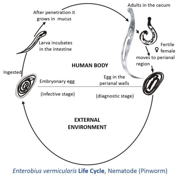 enterobioză pozitivă ce să faci human papillomavirus detection methods