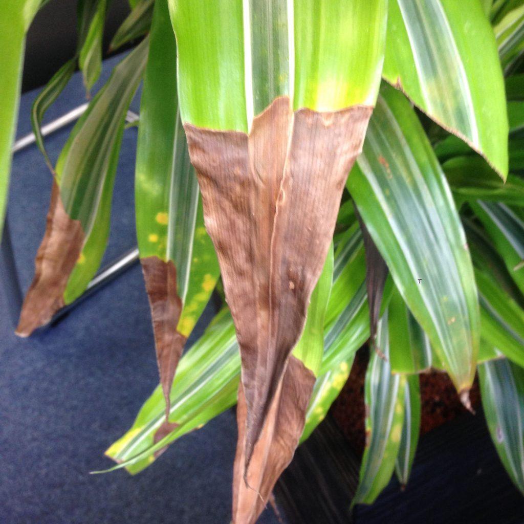 paraziți ramură de palmier)