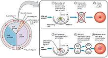 how does hpv cause cancer influențat de helminți