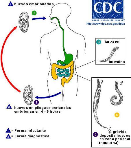 enterobius vermicularis life cycle animation