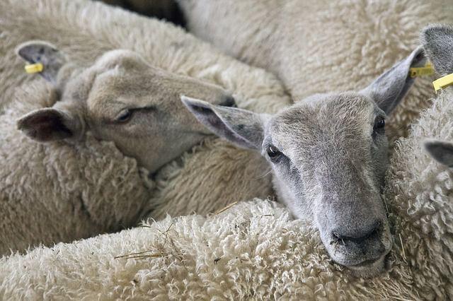 Sfaturi utile: Protejarea oilor şi caprelor de paraziţii intestinali pe timpul verii
