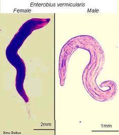 Ringkasan siklus Hidup, Enterobius vermicularis cdc life cycle