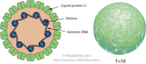 hpv virus structure