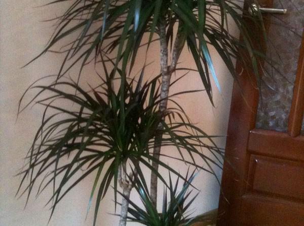 paraziți ramură de palmier papilomatosis interdigital bovina